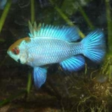Mikrogeophagus ramirezi Electric blue - Cichlidka ramirezova Electric blue