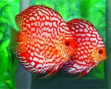 Symphysodon discus Pidgeon blood Red - Terčovec pravý Pidgeon blood Red