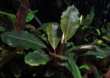 Bucephalandra sp Dark Green