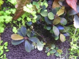 Bucephalandra sp Brownie