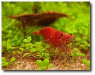Neocaridina Red cherry shrimp - Krevetka