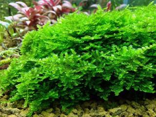 Vesicularia species - Christmas moss