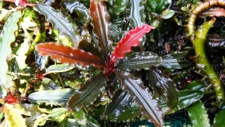 Bucephalandra sp biblis Red